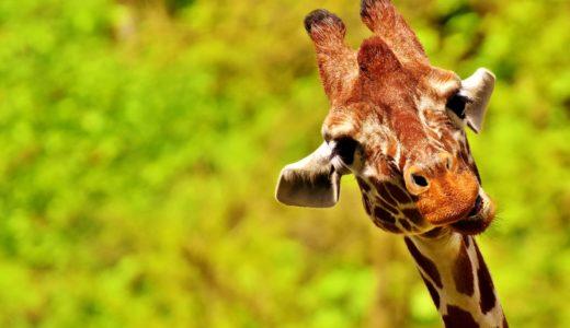 【トリビア】キリンの睡眠時間は恐ろしく短い【わりとどうでもいい雑学】